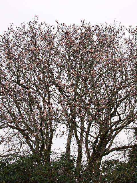 Magnolia sprengeri var. elongata.
