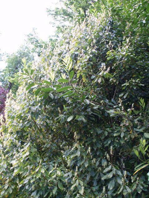 Meliosma simplifolia subsp. pungens