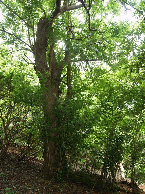 Pinus perulata