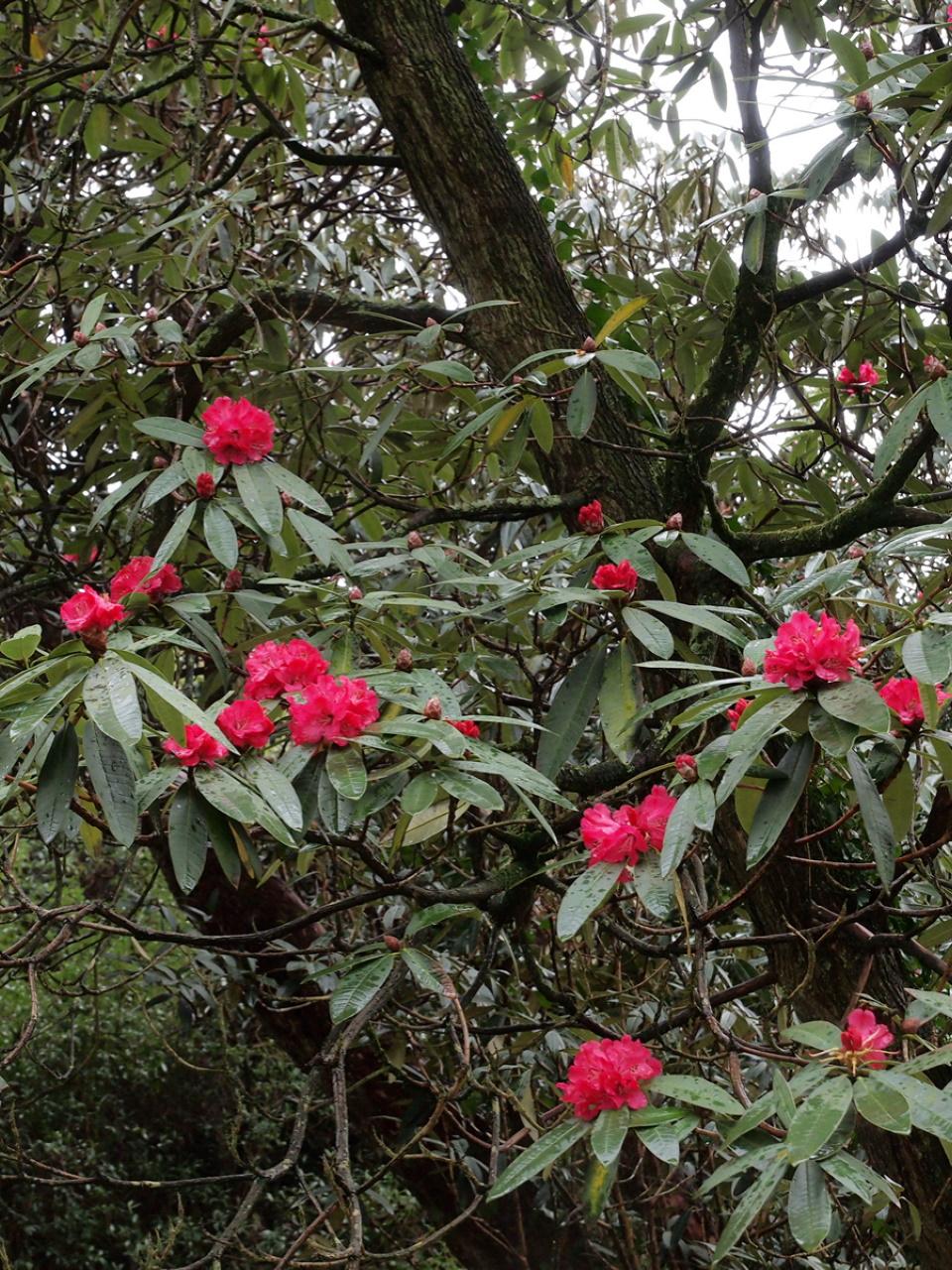 Rhododendron arboreum subsp. delavayi