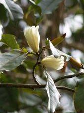 Michelia floribunda