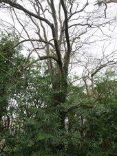 Pinus pilosiuscula