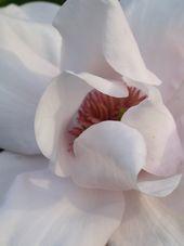 Magnolia sarg. var robusta