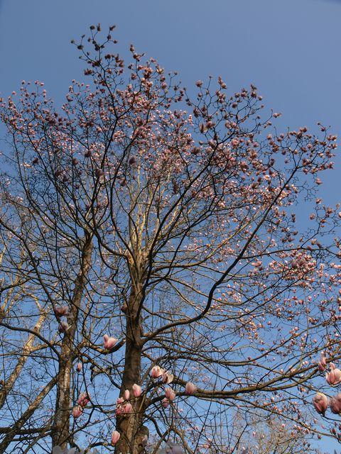Magnolia x veitchii