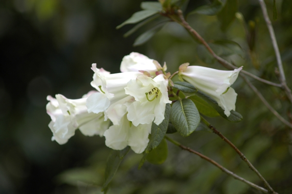 Rhododendron lindleyi