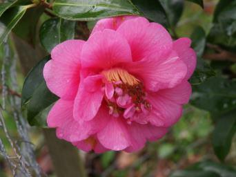Camellia 'Caerhays'