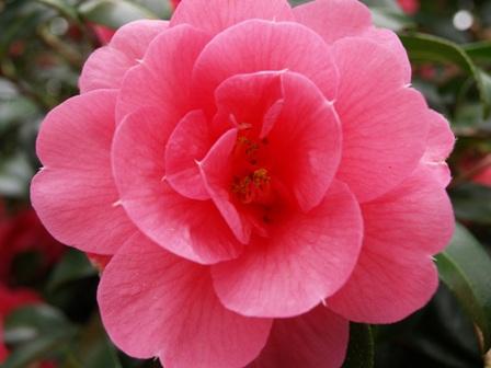 Camellia 'Donation' dark form