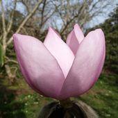 Magnolia campbellii subsp.mollicomata