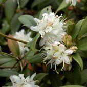 Rhodo. hanceanum
