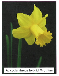 Daffodil - Mr Julian