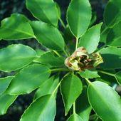 Trochodendron arallioides