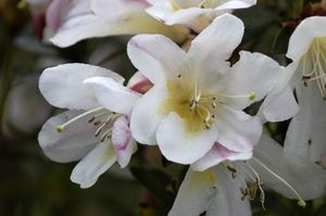 Rhododendron gibsonii