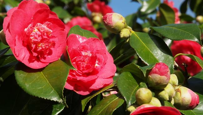 Camellia Grand Slam Thumbnail