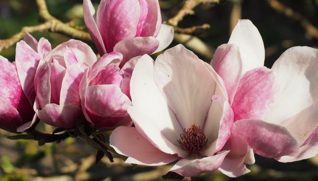 Magnolia Pickard's Ruby Thumbnail