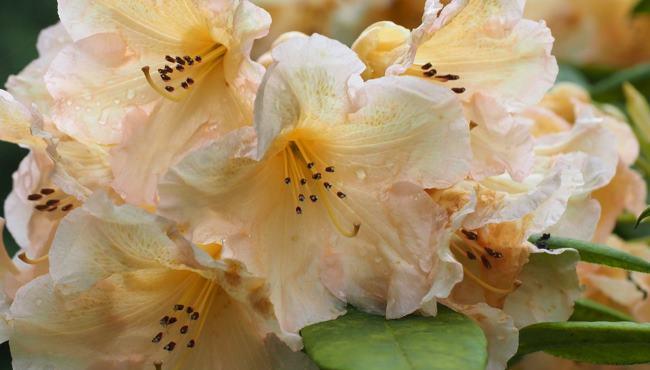 Rhododendron Tortoishell Orange Thumbnail