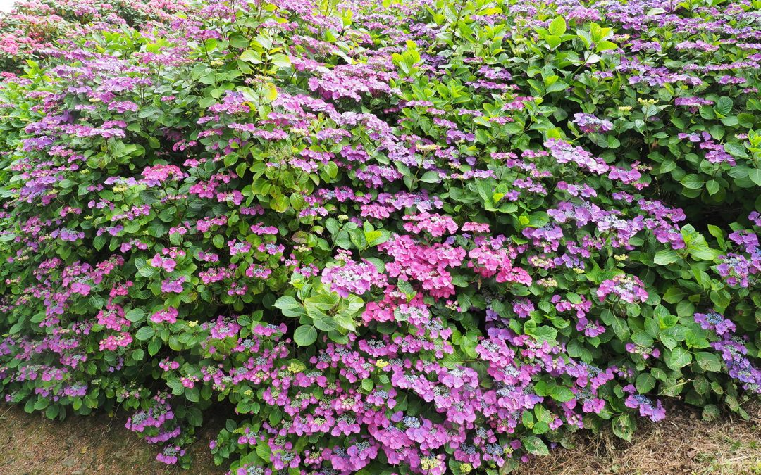 Hydrangeas at Burncoose
