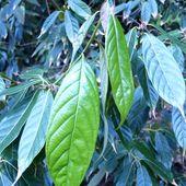 Lithocarpus_pachyphyllus_01_3