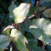 Lithocarpus_uvarifolius