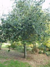 Q.argrifolia_1