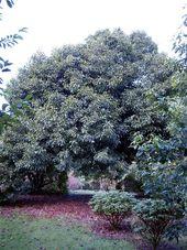 Quercus_acuta