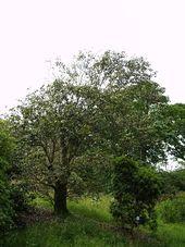 Quercus_lamellosa_1