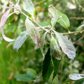 Quercus_leucotrichophora
