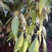Quercus_myrsinifloia