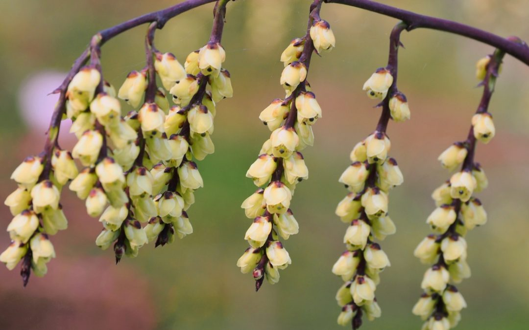 Stachyurus – A guide by Charles Williams