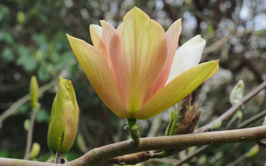 Magnolia 'Tropicana' in flower this weekend