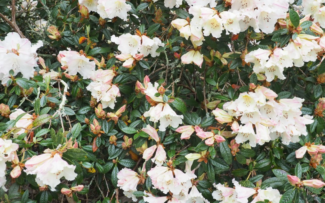 Scented Rhododendrons at Caerhays