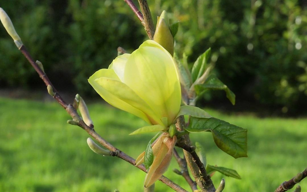 Best Yellow Magnolias
