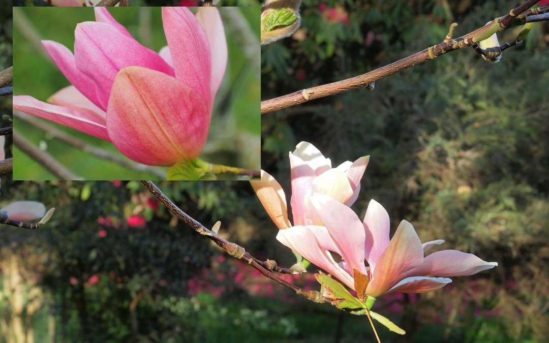 Magnolia 'Daybreak' and 'Peachy'
