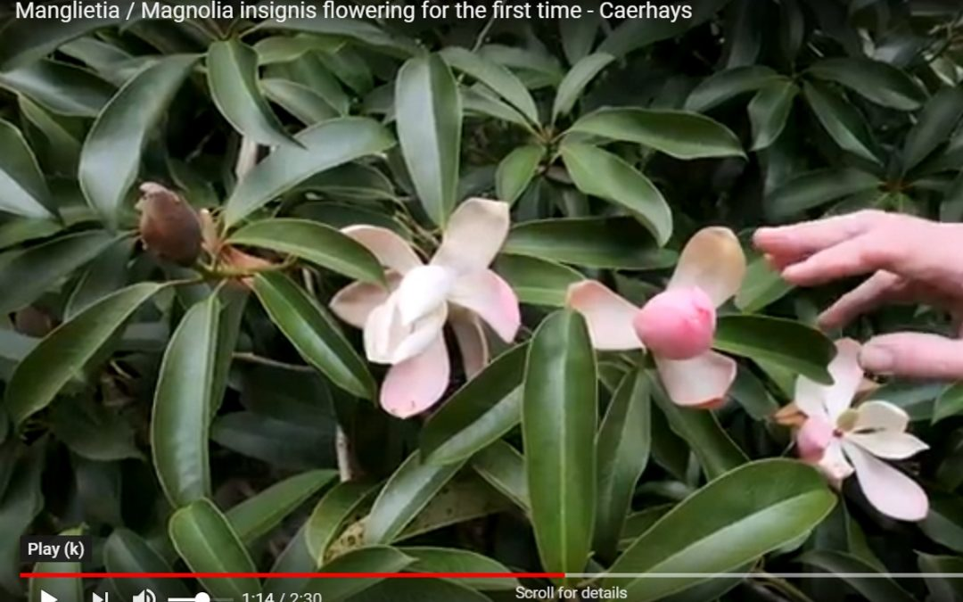 Magnolia / Manglietia insignis flowering for first time