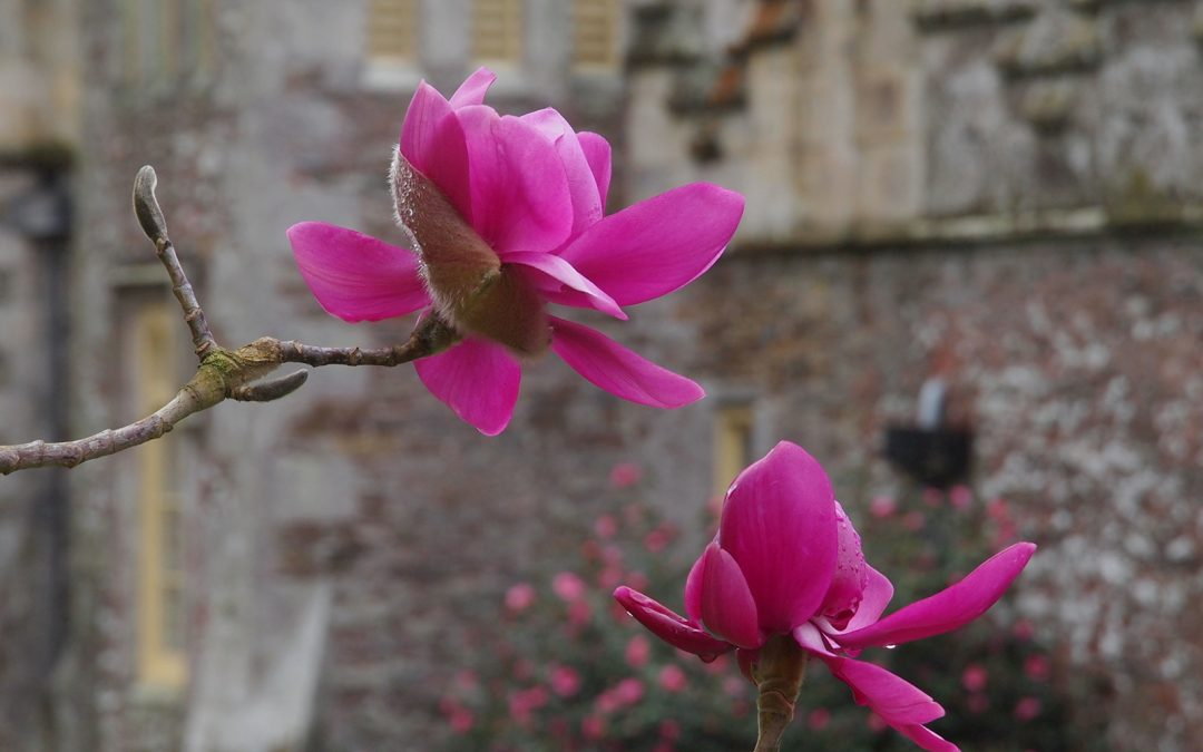 Spolight on Magnolia 'Lanarth'