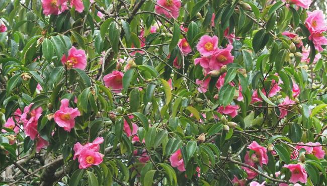 Camellia 'Mary Williams' Thumbnail