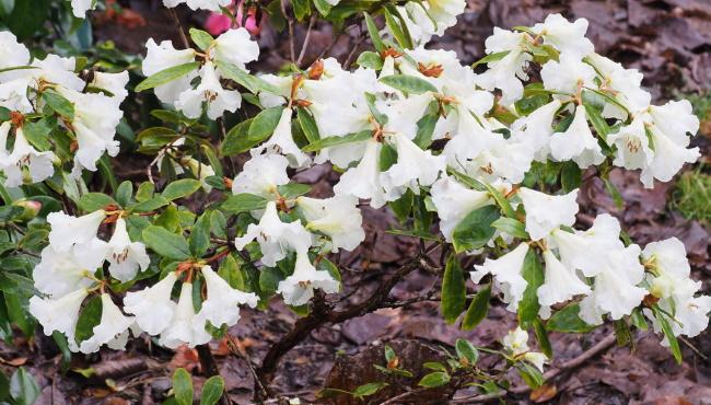 Rhododendron arboreum Thumbnail