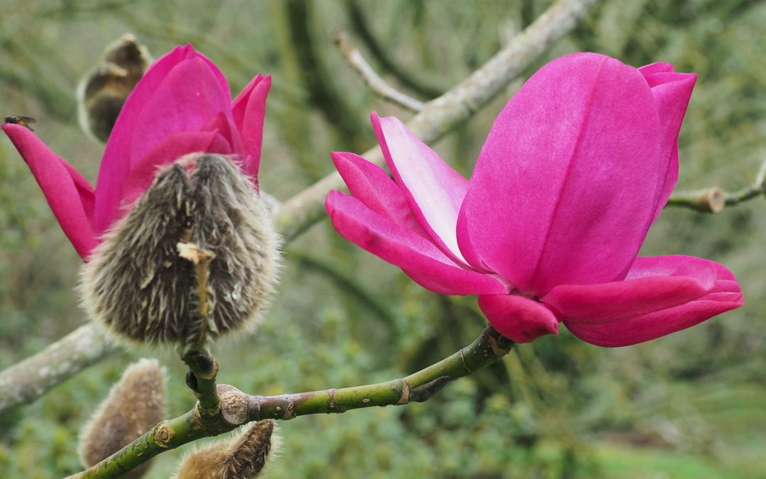 Caerhays Lecture – The National Collection of Magnolias