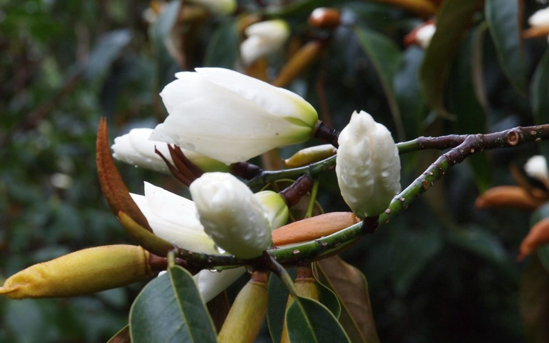The National Collection of Magnolias at Caerhays – RHS Lecture
