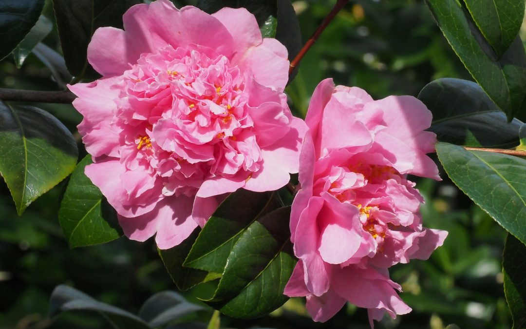 History of the x williamsii Camellia – RHS Lecture