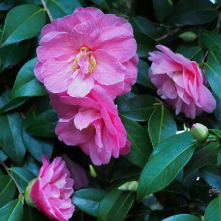 RHS Lecture x williamsii Camellias