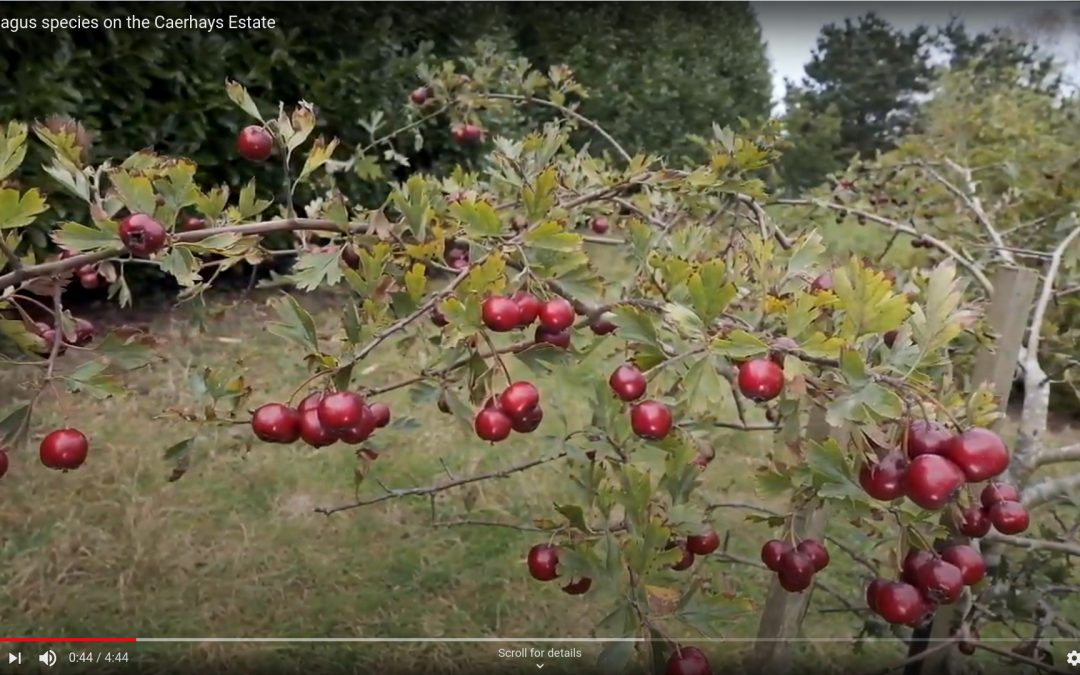 Crataegus Screen Shot