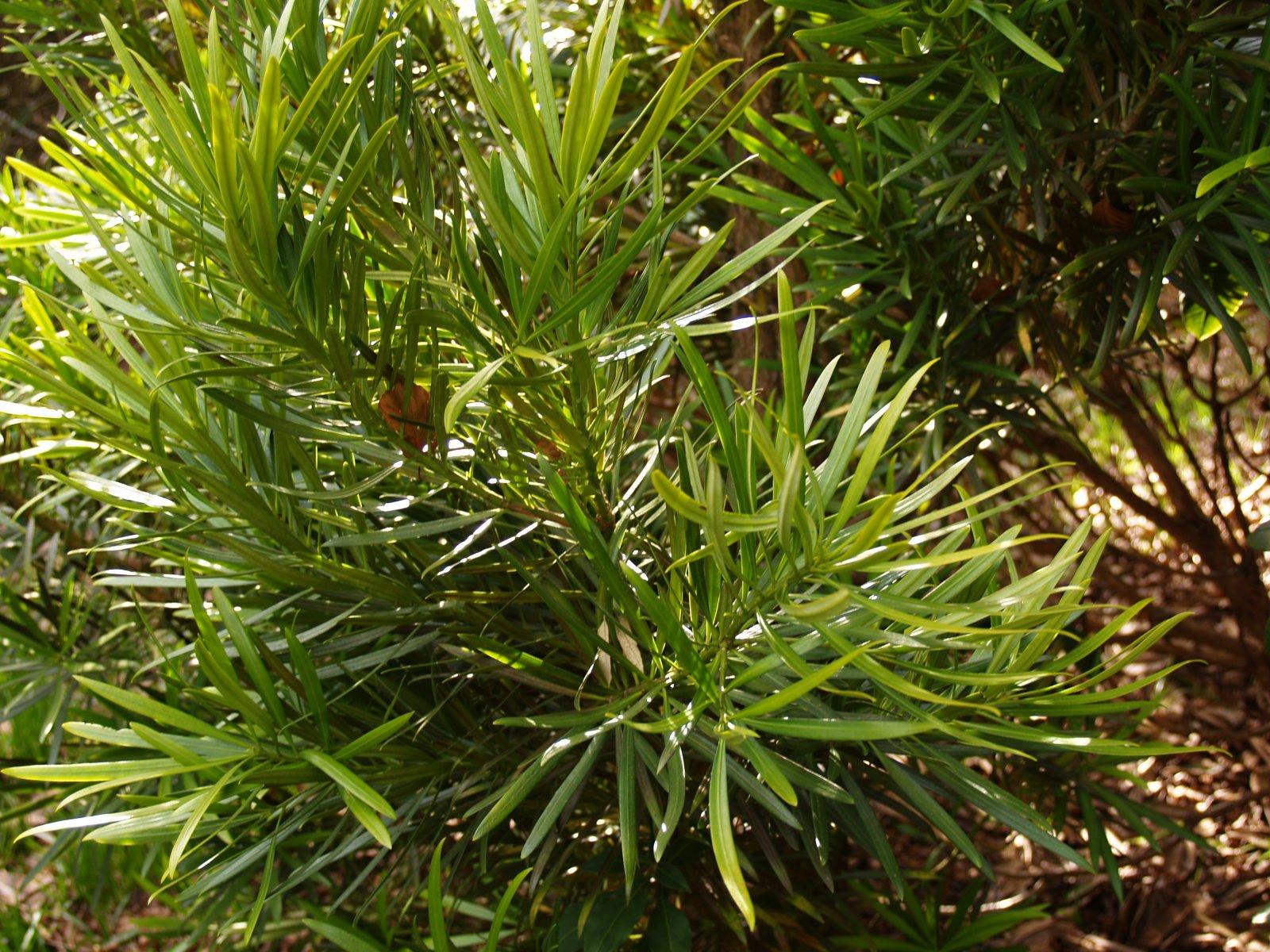 P. macrophyllus 'Aureus'