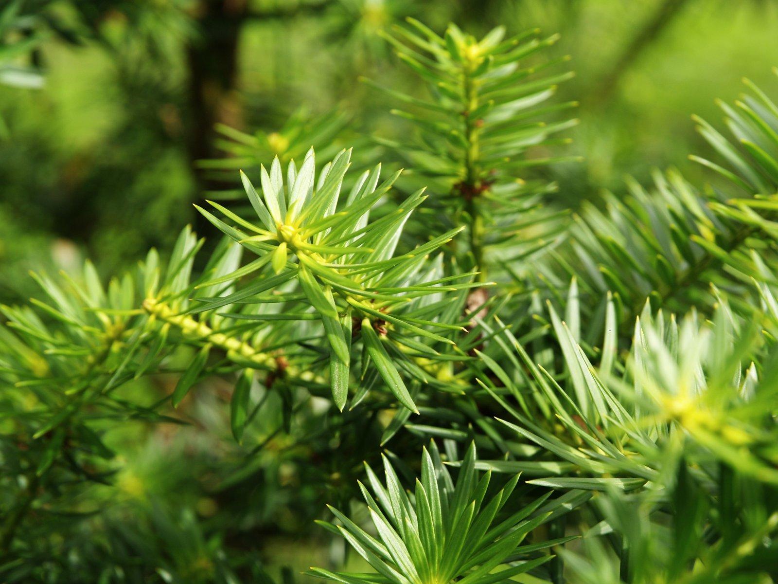 Podocarpus nubigenus