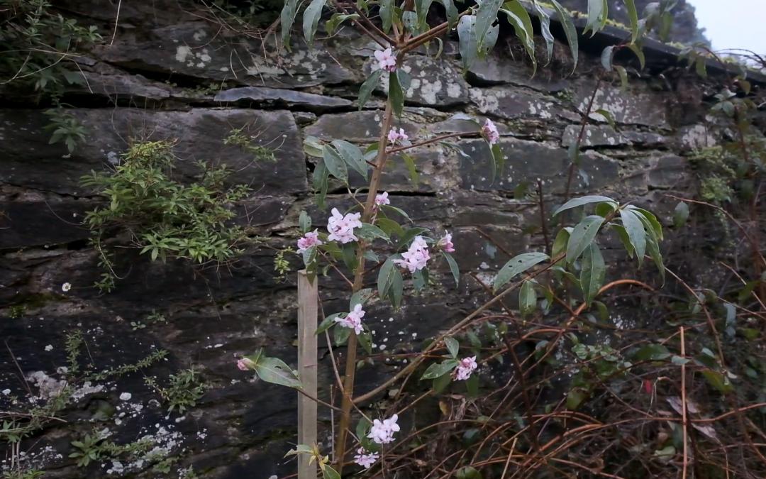 Daphne bholua 'Darjeeling'