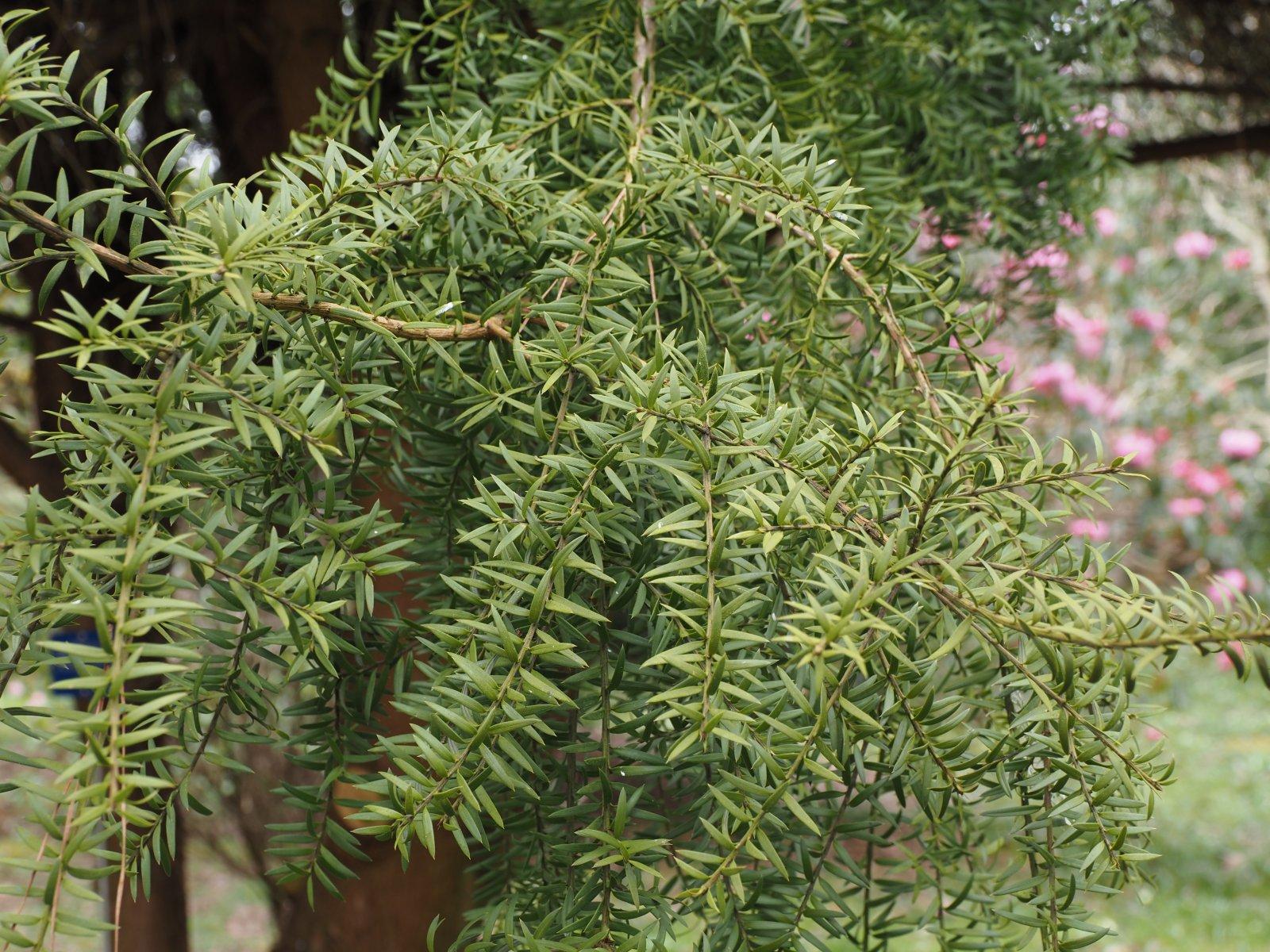 P. nubigenus 'Pendula'