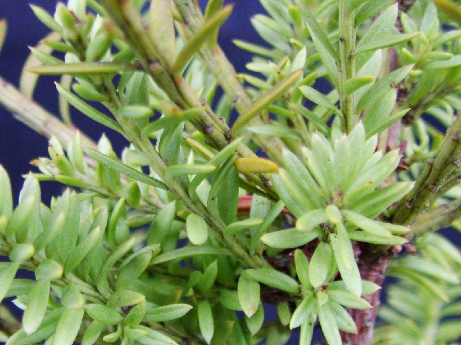 P.nivalis 'Green Queen'