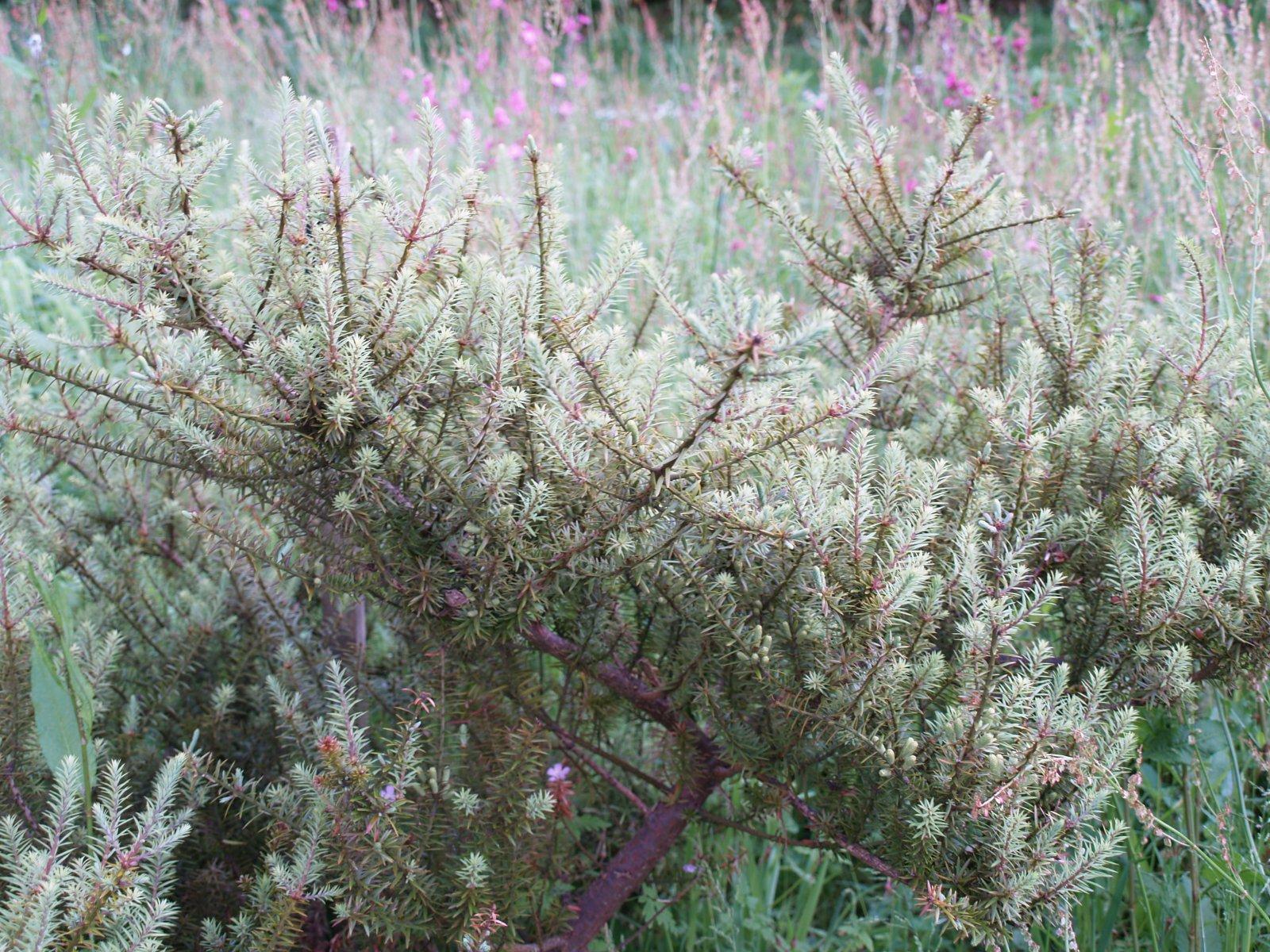 Podocarpus acutifolius  (male)