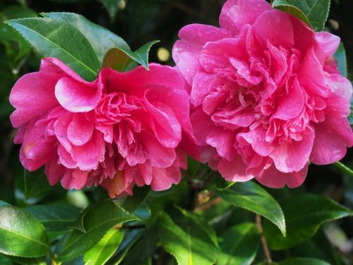 Camellia 'Anticipation Variegated' spring 2020