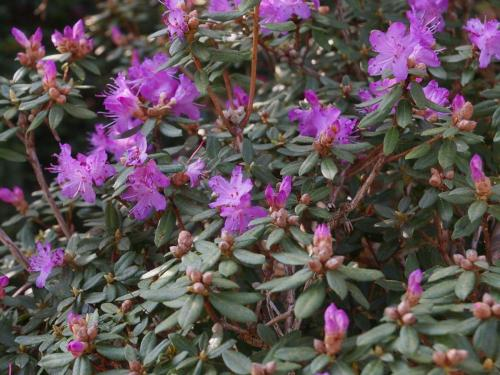 Rhododendron 'JC Williams;