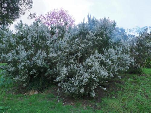 Erica arborea spring 2020